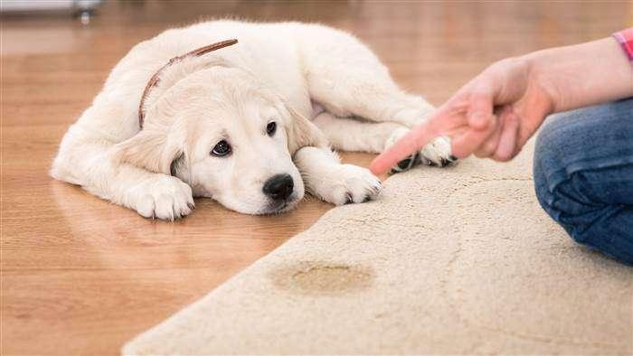 Showing Sad Dog Who D On Carpet